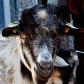 capra-orobica-2016-foto-orengo1